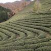 緑茶を飲めば認知症予防リスクが68%減少する