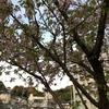 おぉぉ~!桜咲いてます。(二葉の里、歴史の散歩道)