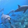 イルカが棲む御蔵島