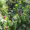 午後の庭・・・マロウ、アガスタキなど