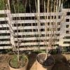 ハナモモの地植え