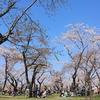 北海道森町(もりまち)の桜まつりでリフレッシュ。