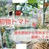 初物完熟トマトを観察!~着実から完熟までの5日間~