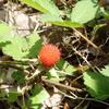 赤い野イチゴの仲間 クサイチゴの味とは?