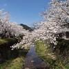 一の坂川:桜③
