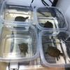 今朝の子亀の給餌風景。&子亀飼育環境小変更2。