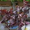 赤紫蘇が育っています