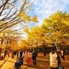 昭和記念公園でいちょうを撮ってきた。