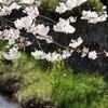一の坂川:桜ラスト