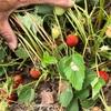 イチゴ収穫シーズン到来!