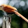 ベリーズ 人を警戒しない Squirrel Cuckoo(スキーレル カックー)