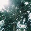 【写真の記憶】子供の成長を見守ってくれたユーカリの大木の最後の姿【ライツミノルタCL、M-ROKKOR 28mm】