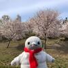 二色の浜公園でお花見!桜並木も関西空港も楽しめるぞ(泉州お花見編その2)(180)