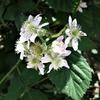 小さいほうのブラックベリーの開花