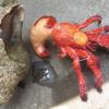 標本 制作  甲殻類