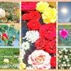 秋薔薇も見納め🌹それでもって薔薇三昧🌹✨