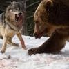 オオカミとヒグマの戦いをとらえた超リアルな迫力の写真