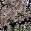 上野の桜を偵察 そして木曽路でランチを~