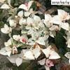 #11 ハツユキカズラ 葉の色がピンクから白へ