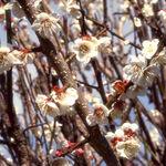 春の陽光に照らされた梅の花々を見つめながら【フォト雑記】