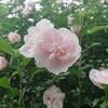曇り空と薄桃色の木槿   in   盛岡