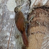 ベリーズ アルツンハ公園の Ivory-billed Woodcreeper(アイボリービルド ウッドクリーパー)