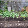 【家庭菜園】大根の花芽が出たので、取りました