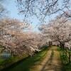 桜咲きほこる