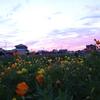 神原町花の会(花美原会)(273)    夕暮れの花畑と花木の元気回復を念ず