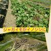 ジャガイモ畑がイノシシに荒らされました