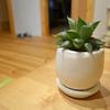 観葉植物にハオルシアをお迎えしました