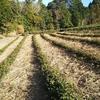 敷き草をするお茶づくり 茶草場農法