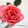 冬の庭作業その1【バラ】