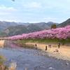 念願かなって、伊豆半島に河津桜を見に行ってきた。