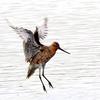 干潟の戻り鴫ーオオソリハシシギ