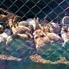 1月13日 大きくなったウサギたち