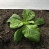 白菜の成長日記。 今日は雨だったのよぉ。