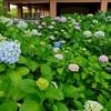 智積院のアジサイ、見ごろと開花状況。