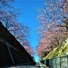 安行寒桜 (その2)