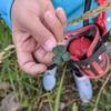 またまた5つ葉のクローバーを持って来てくれました!旭川市内忠別川にてニジマスちゃんもなんとかゲットです。