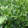 私と植物:さあ〜咲こう!!思うがままに。ミカンの花。