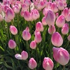 『水生植物公園みずの森』 冬に咲く「アイスチューリップ」を観に行こう!