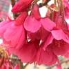 カンヒザクラの花