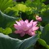 ✿不忍池の蓮の花✿