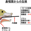 『犬の鼻腔内腫瘍』②どうすれば腫瘍か確認できる?~診断方法・ステージ分類~