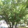 日本で最初の菩提樹?