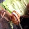 飼いカタツムリは冬眠せずに越冬する…という話。