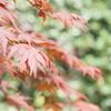 ご存知ですか、『春もみじ』? 春なのに真っ赤に色づき、夏を通り越して秋の気分が味わえます。