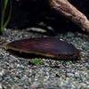(貝)カワシンジュ貝(約8cm)(1匹)【水槽/熱帯魚/観賞魚/飼育】【生体】【通販/販売】【アクアリウム】