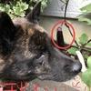 甲斐犬サン、平均寿命と健康寿命を考えるの巻〜_φ( ̄ー ̄ )ムーン……。